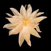 """11"""" DecoStar™ Deluxe Dahlia Foam Flower -  Champagne"""